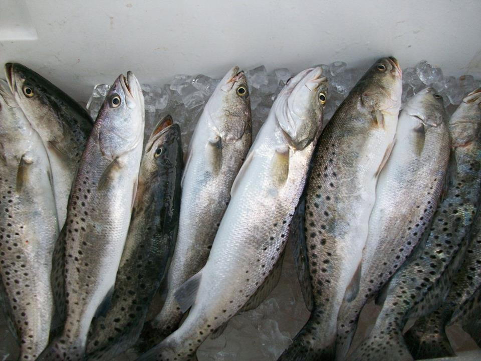 Georgia inshore trout fishing a georgia sport fishing for Georgia trout fishing