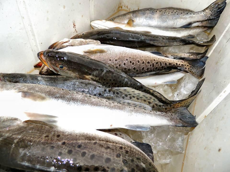 Inshore trout fishing a georgia sport fishing charters for Georgia trout fishing
