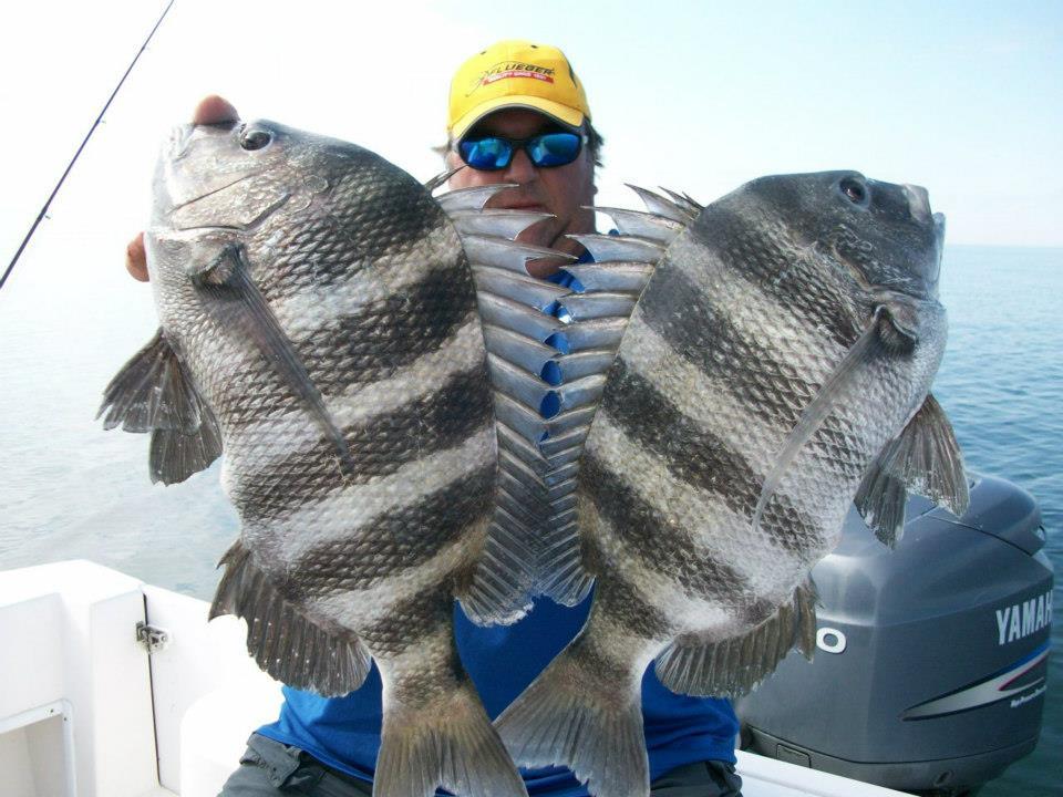 sheepshead-fish - Georgia Fishing ChartersSaltwater Sheepshead Fish Pictures