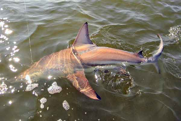 Jekyll Island Fishing Charters - Shark Fishing