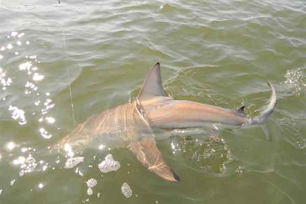 St Simons Island Shark Fishing
