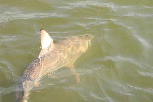 Shark Fishing Charters around St. Simons Island Georgia
