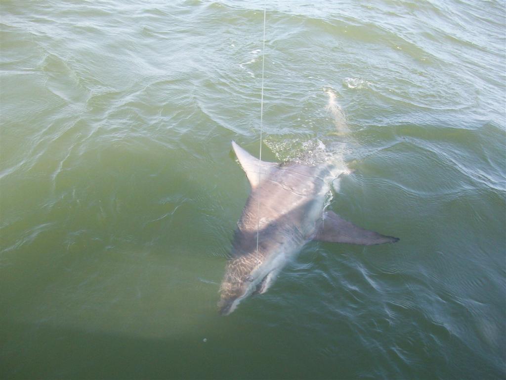 Shark Fishing St Simons Island Ga