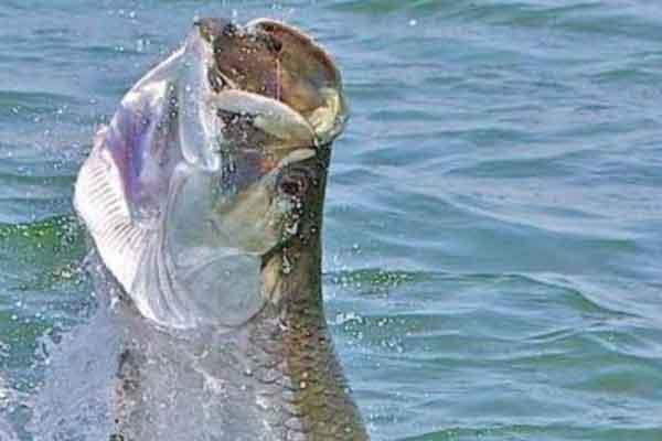 St. Simons Island Fishing Charters for Tarpon
